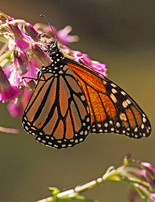Monarch butterflies at the El Rosario Sanctuary located within the Monarch Biosphere Reserve, ...  	© Eric Rock / Natural Habitat Adventures