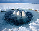 Belugas in the Arctic
