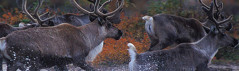 Caribou from the Beverly herd in the early fall crossing the Thelon River, Northwest Territories  	© Steven Barger