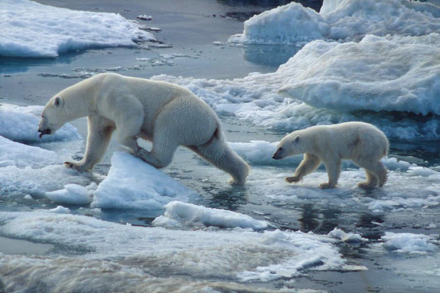 Polar Bear Ursus Maritimus Wwf Canada
