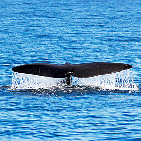 © WWF-Canada/Canadian Whale Institute/Yan Guilbault