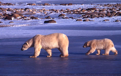 Polar bear Mother and young Churchill, Canada rel=