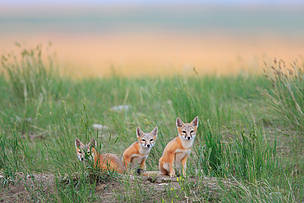 Swift Foxes