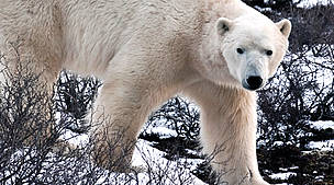 Polar bear on tundra at Churchill, Manitoba, Canada