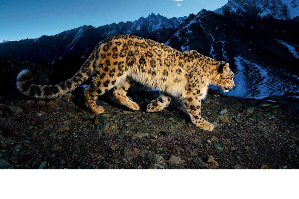 0ec52cce1b9c7 Le léopard des neiges est une espèce emblématique des hautes montagnes  d Asie centrale. Cette région ô combien spectaculaire abrite une variété  unique de ...